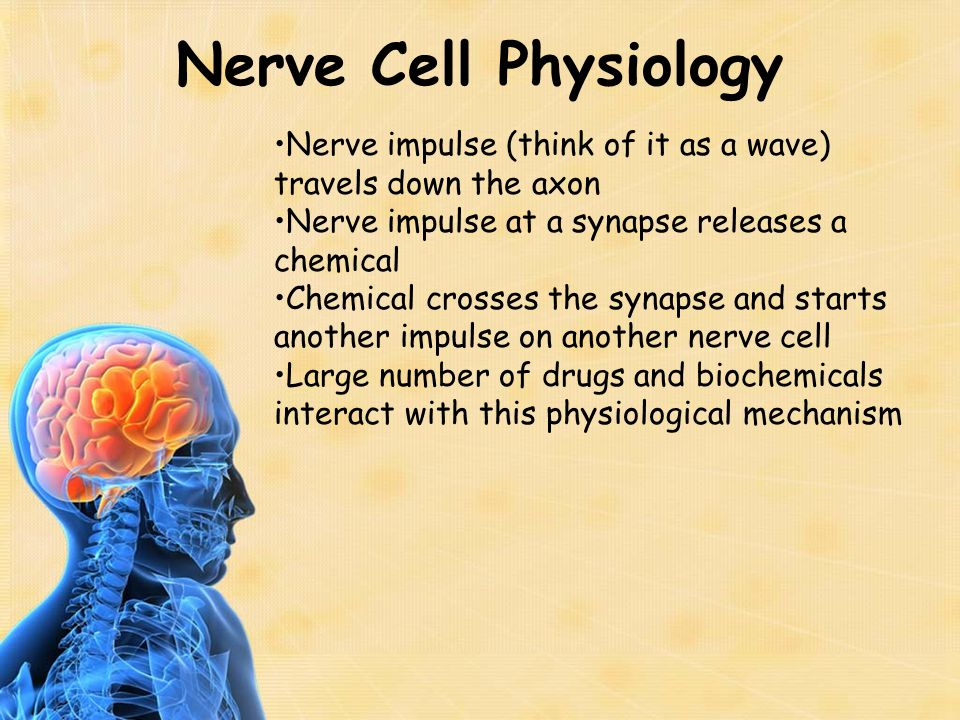 Nervous System Anatomy Nervous system can be divided into two major parts—central and peripheral nervous system Central nervous system is comprised of the brain and spinal cord Peripheral nervous system is comprised of nerves that come off the brain (cranial) or spinal cord