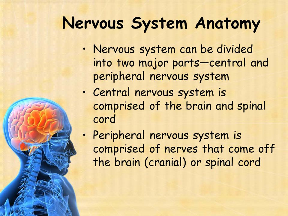 Brain Anatomy Brain contains many folds and convolutions to increase surface area Brain can be separated into three principle regions—forebrain, cerebellum, and brain stem