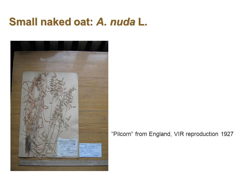 Small naked oat: A. nuda L. Pilcorn from England, VIR reproduction 1927