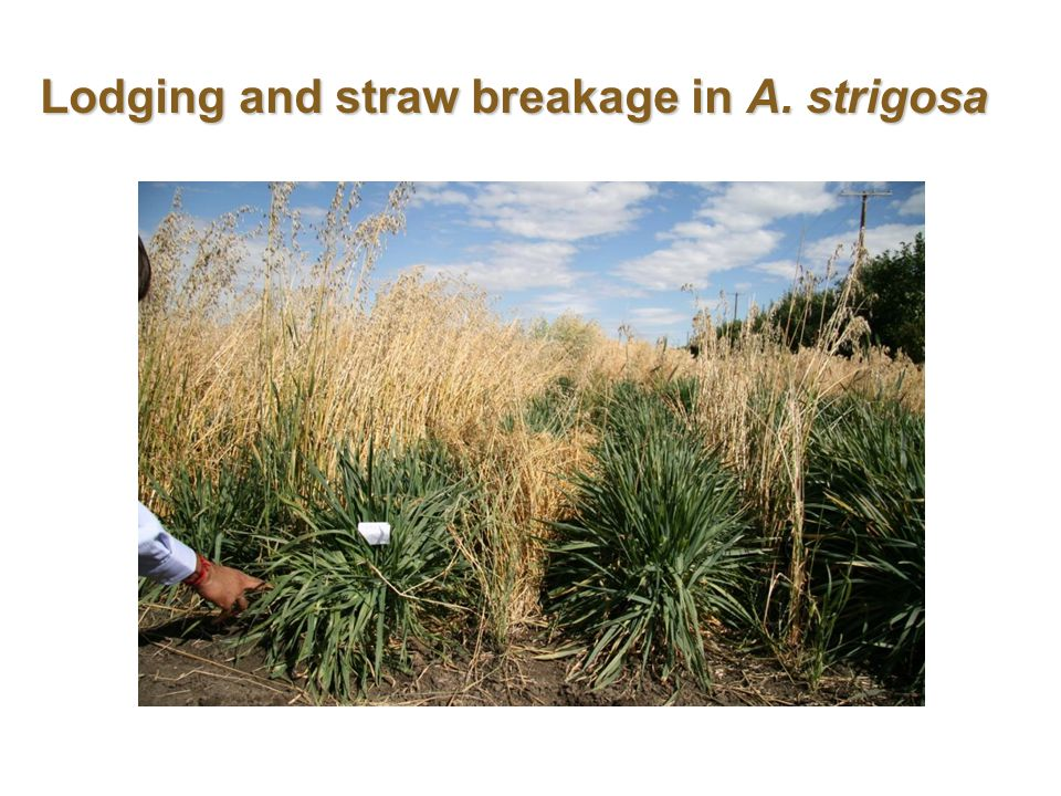 Lodging and straw breakage in A. strigosa
