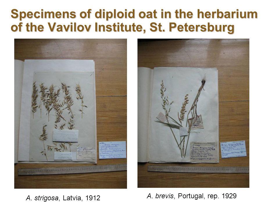 Specimens of diploid oat in the herbarium of the Vavilov Institute, St.
