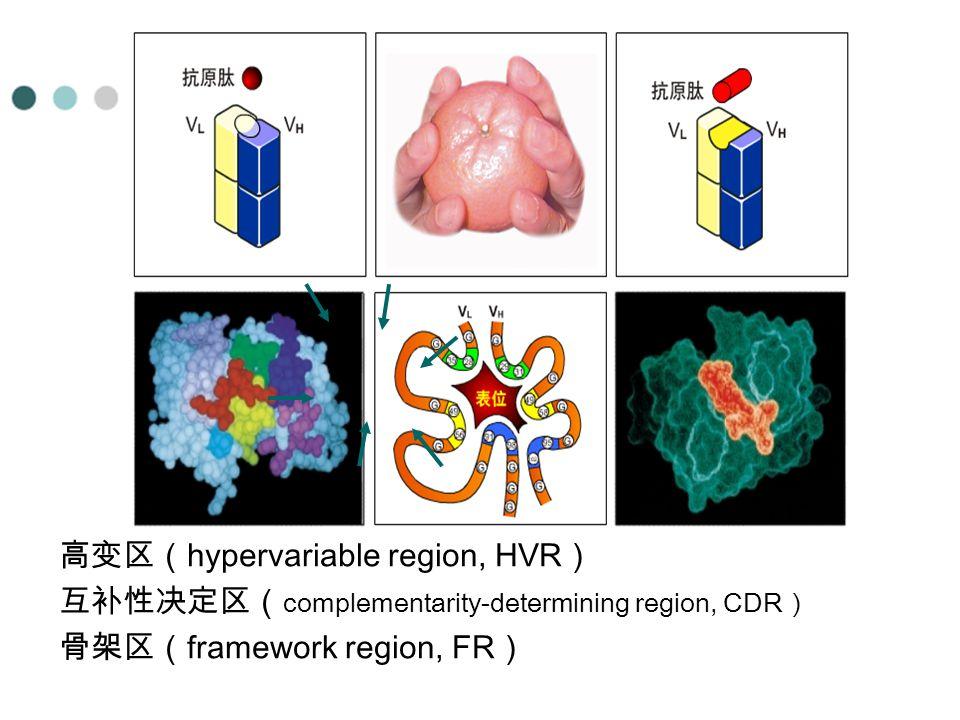高变区( hypervariable region, HVR ) 互补性决定区( complementarity-determining region, CDR ) 骨架区( framework region, FR )