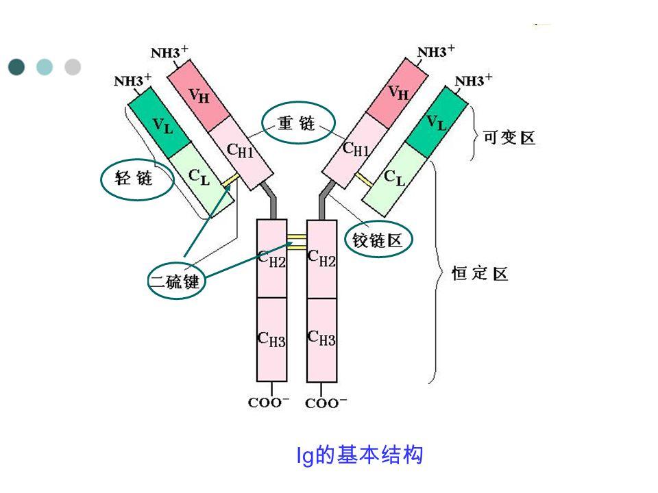 Ig 的基本结构