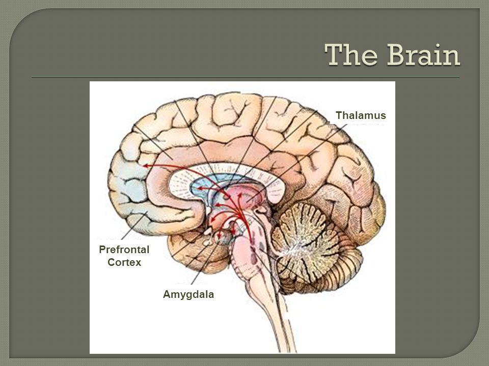 Thalamus Amygdala Prefrontal Cortex