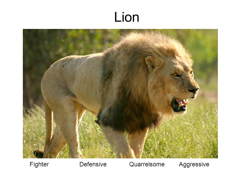 FighterDefensiveQuarrelsomeAggressive Lion