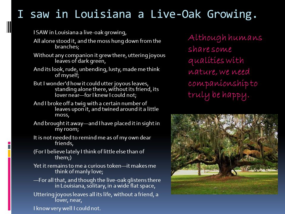 I saw in Louisiana a Live-Oak Growing. I SAW in Louisiana a live-oak growing, All alone stood it, and the moss hung down from the branches; Without an