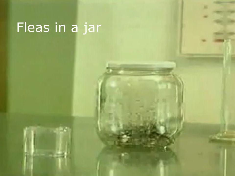Fleas in a jar