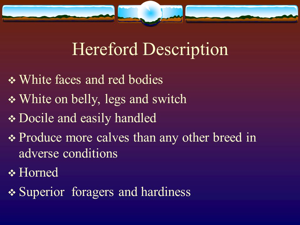 Hereford Description  White faces and red bodies  White on belly, legs and switch  Docile and easily handled  Produce more calves than any other breed in adverse conditions  Horned  Superior foragers and hardiness