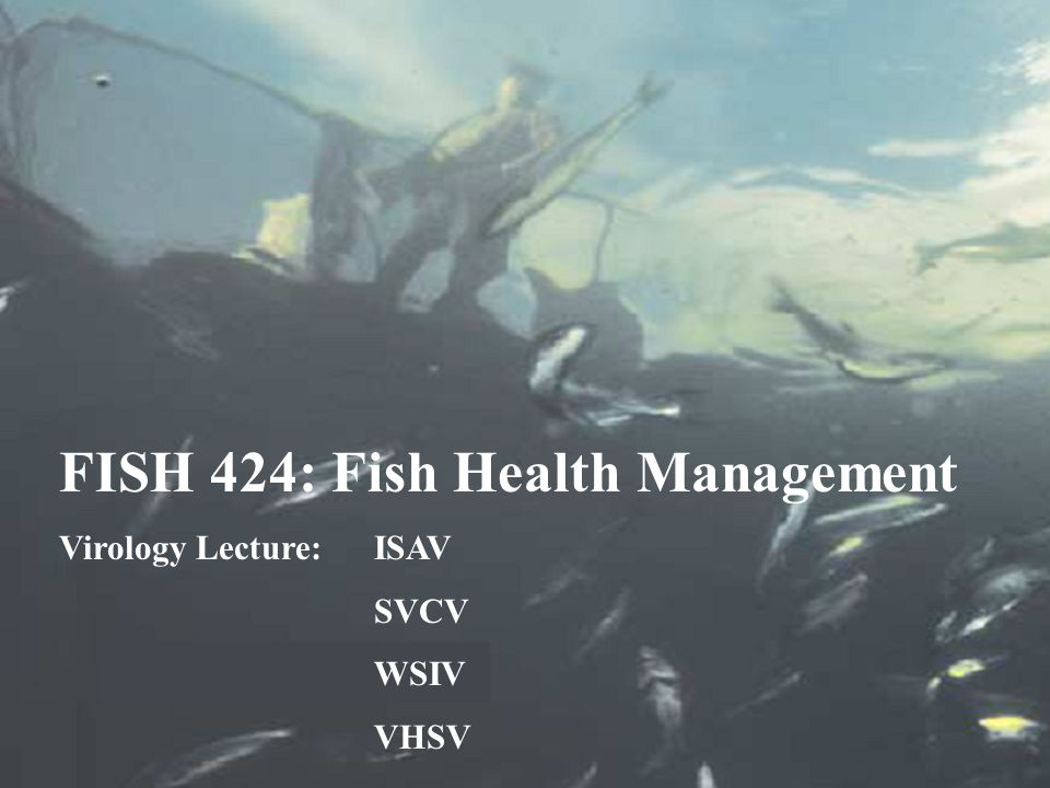 Host Range of VHSV 37 host species FW and SW worldwide 28 FW species 19 FW species are important to Idaho including rainbow trout, salmon, bass, bluegill, crappie, and perch Host range is unheard of for other fish viruses!