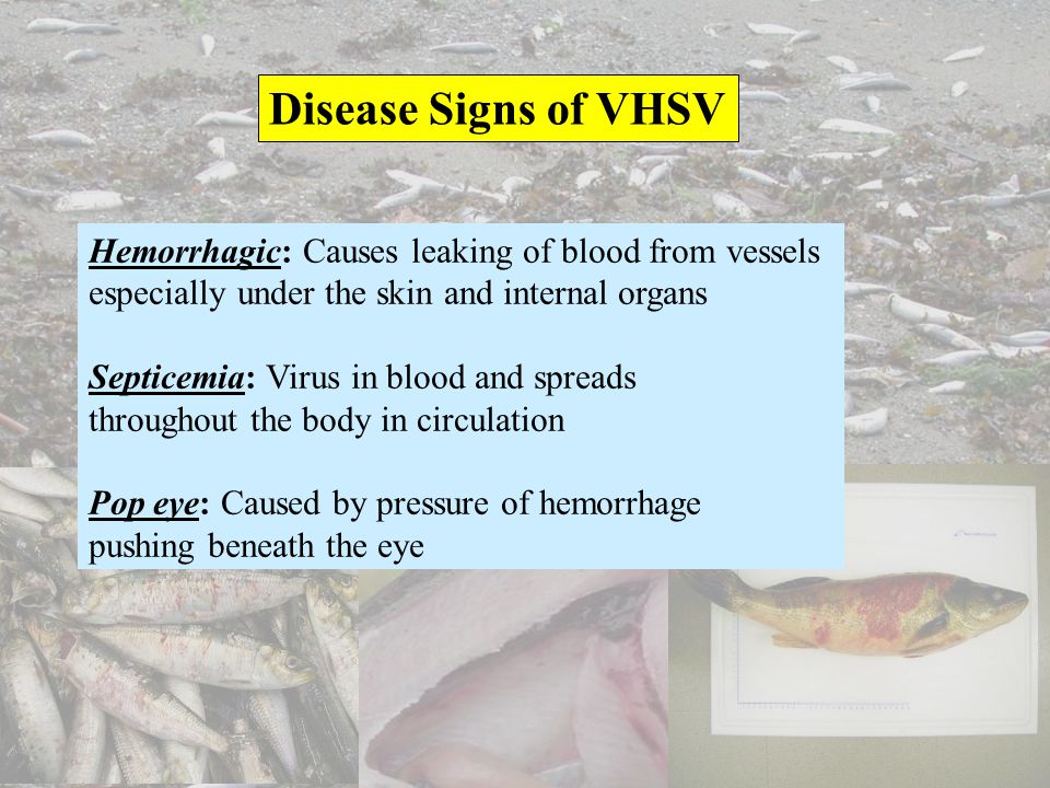 Disease Signs of VHSV Hemorrhagic: Causes leaking of blood from vessels especially under the skin and internal organs Septicemia: Virus in blood and s