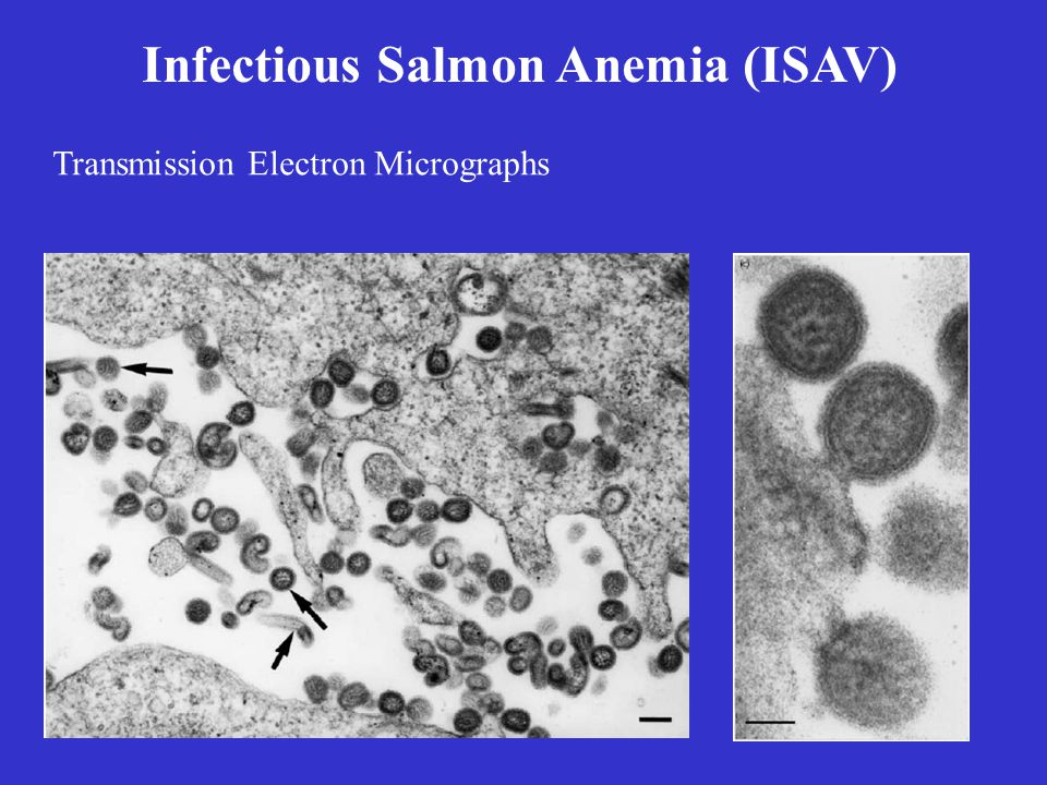 Infectious Salmon Anemia (ISAV) Virulence and Pathology –lethargic, swim near the water surface –petechial hemorrhage on skin and fins –anemia, exophthalmia, ascites –Pale gills –hepatomegally, splenomegally – petechia in the visceral fat