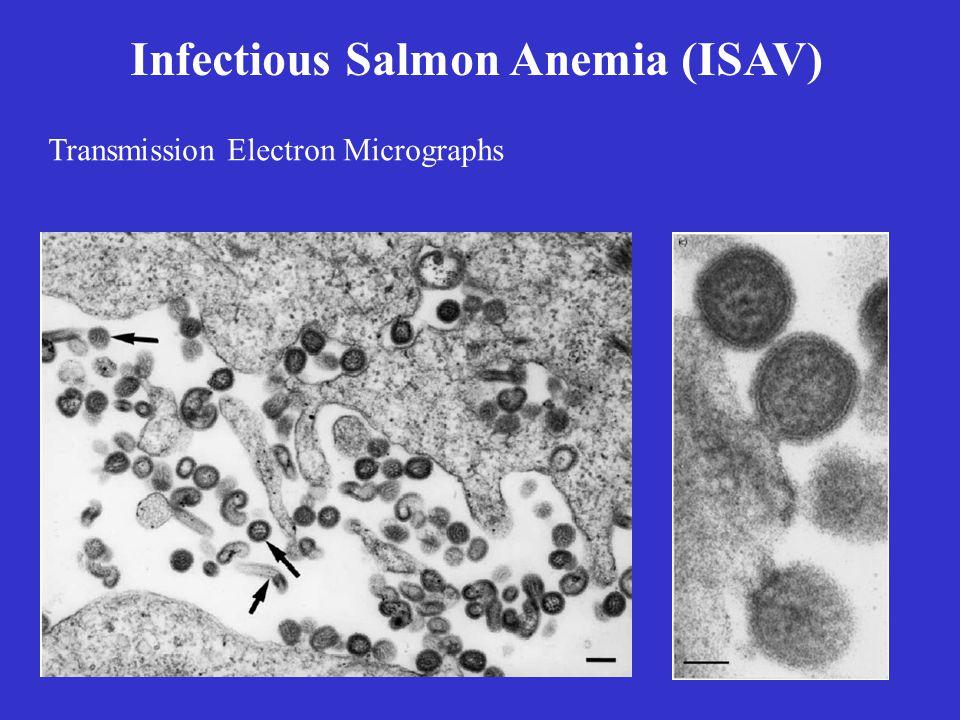 Infectious Salmon Anemia (ISAV) Transmission Electron Micrographs