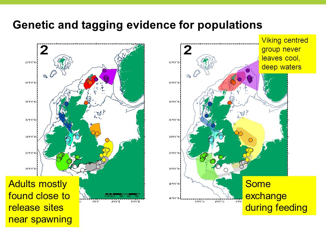 Genetic and tagging evidence for populations Adults mostly found close to release sites near spawning Some exchange during feeding Viking centred group never leaves cool, deep waters