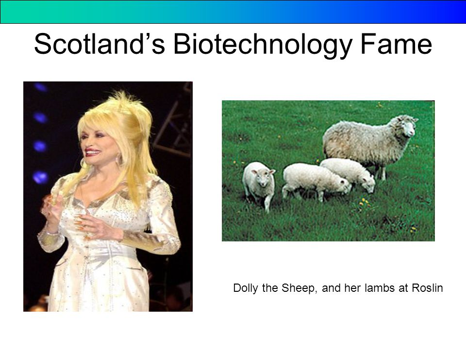 Scotland's Biotechnology Fame Dolly the Sheep, and her lambs at Roslin