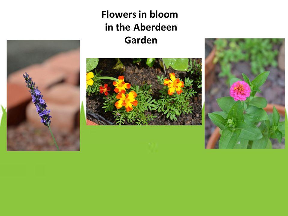 Flowers in bloom in the Aberdeen Garden