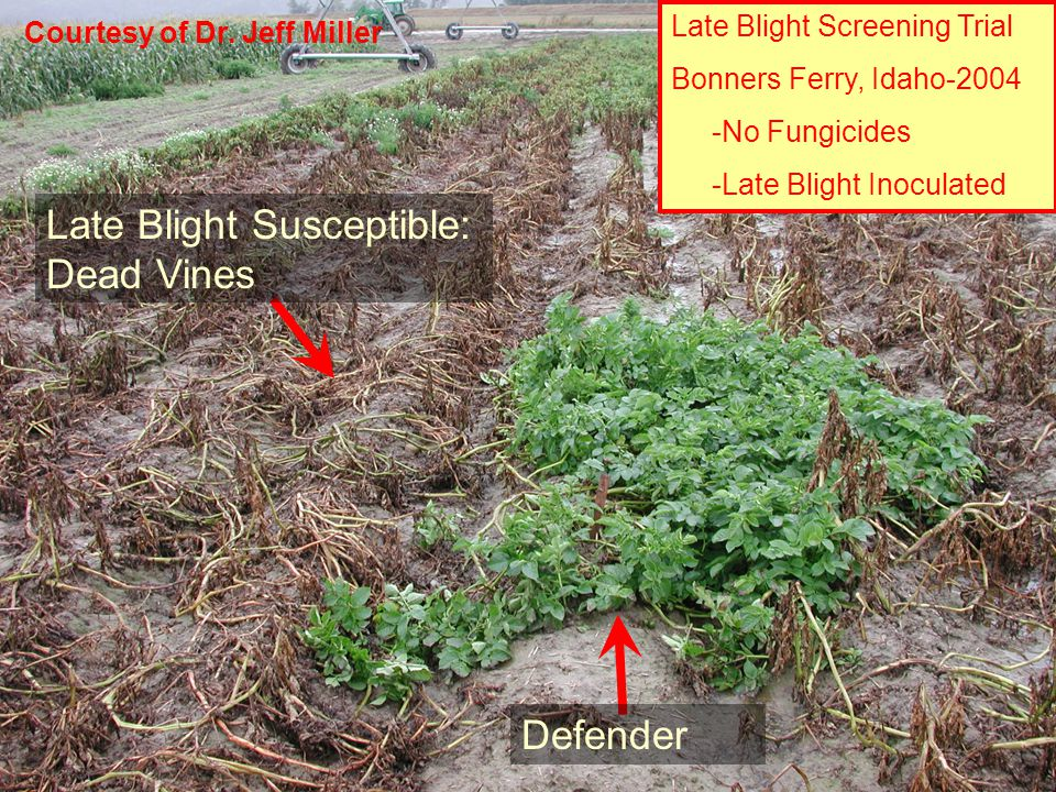 Late Blight Screening Trial Bonners Ferry, Idaho-2004 -No Fungicides -Late Blight Inoculated Late Blight Susceptible: Dead Vines Defender Courtesy of Dr.