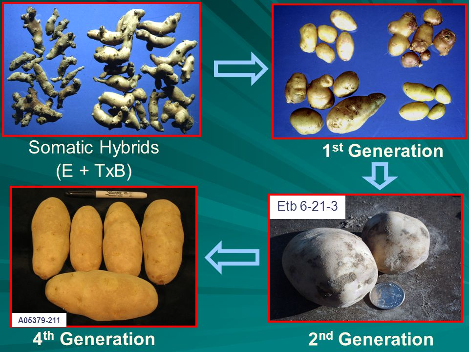 Somatic Hybrids (E + TxB) 1 st Generation Etb 6-21-3 2 nd Generation 4 th Generation A05379-211