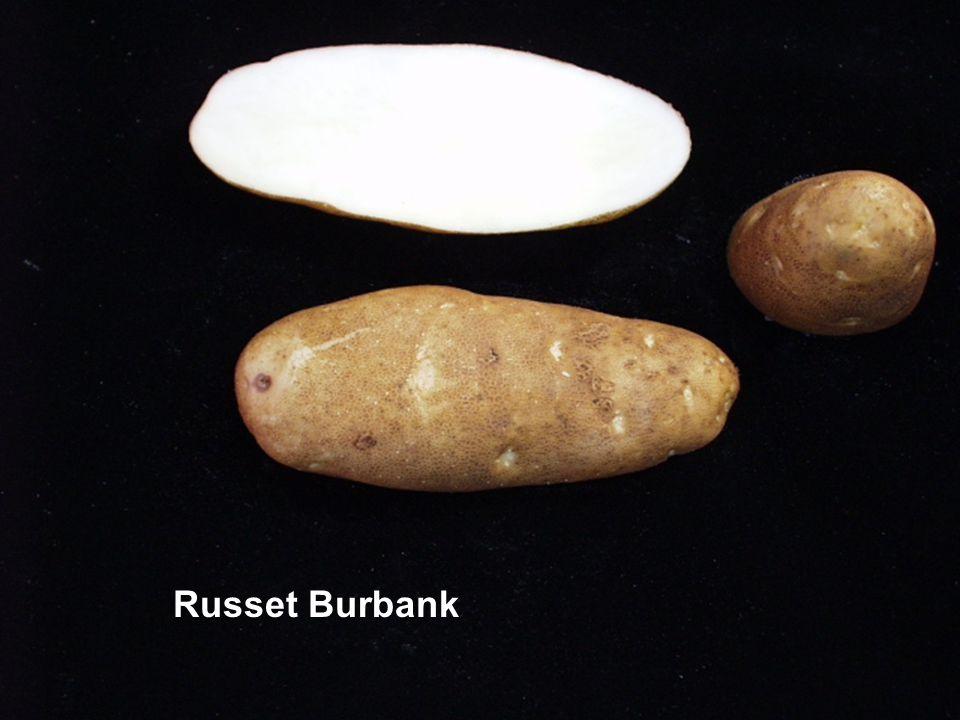 Russet Burbank
