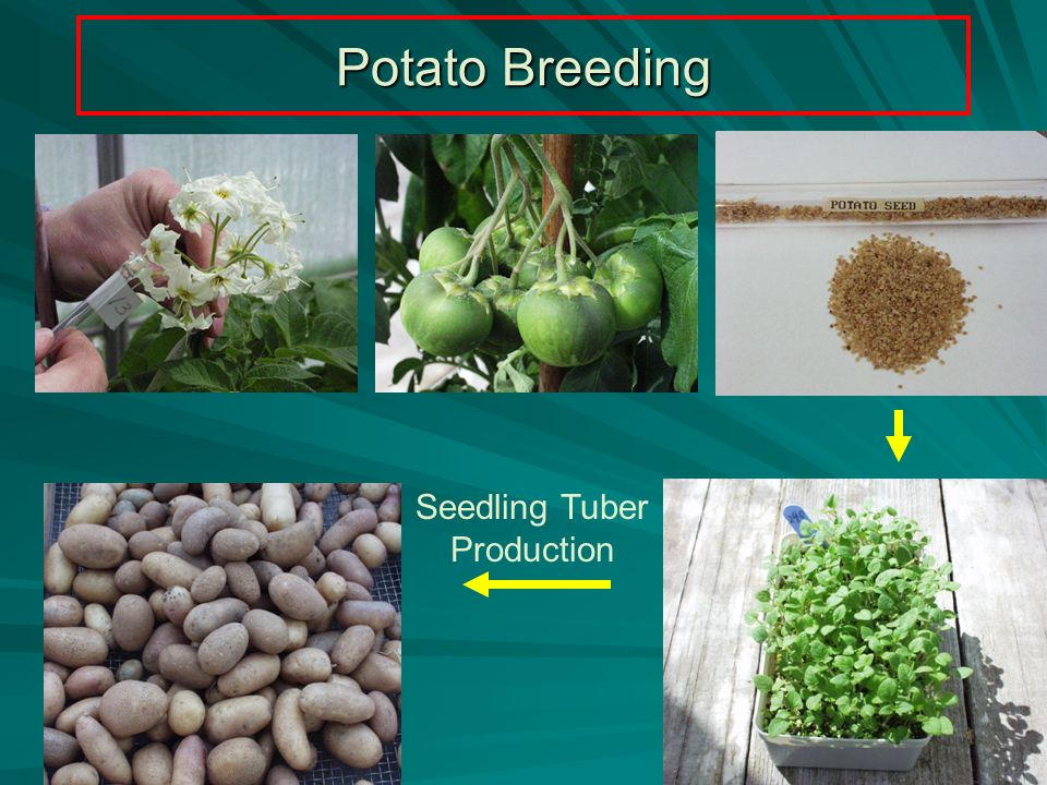 Potato Breeding Seedling Tuber Production