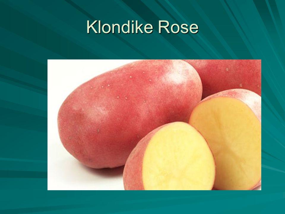 Klondike Rose