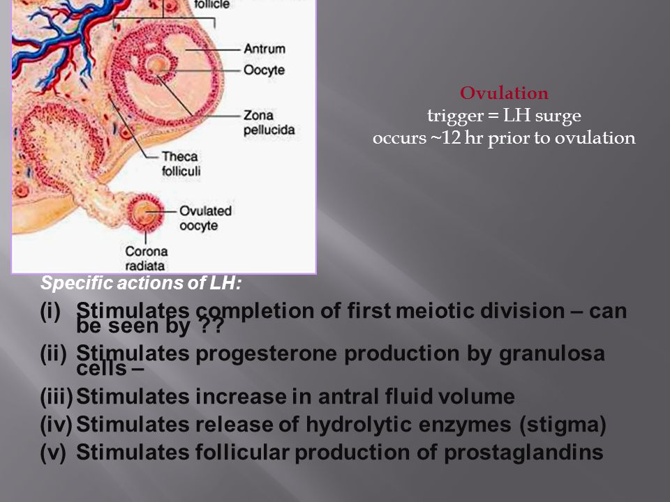 Specific actions of LH: (i)Stimulates completion of first meiotic division – can be seen by ?.