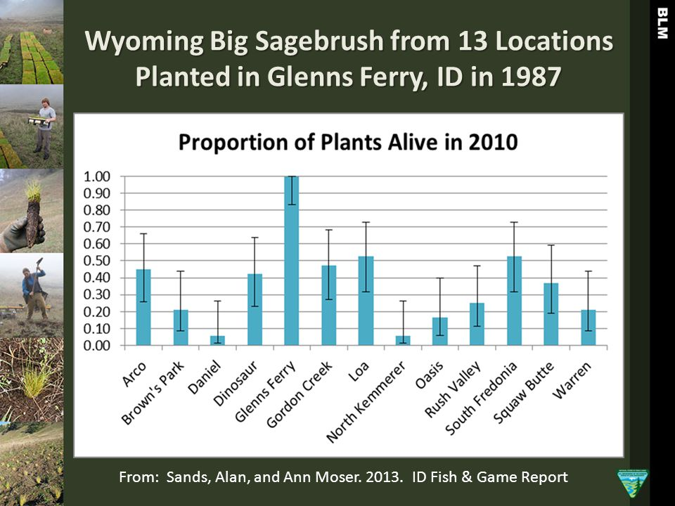 Wyoming Big Sagebrush from 13 Locations Planted in Glenns Ferry, ID in 1987 From: Sands, Alan, and Ann Moser. 2013. ID Fish & Game Report