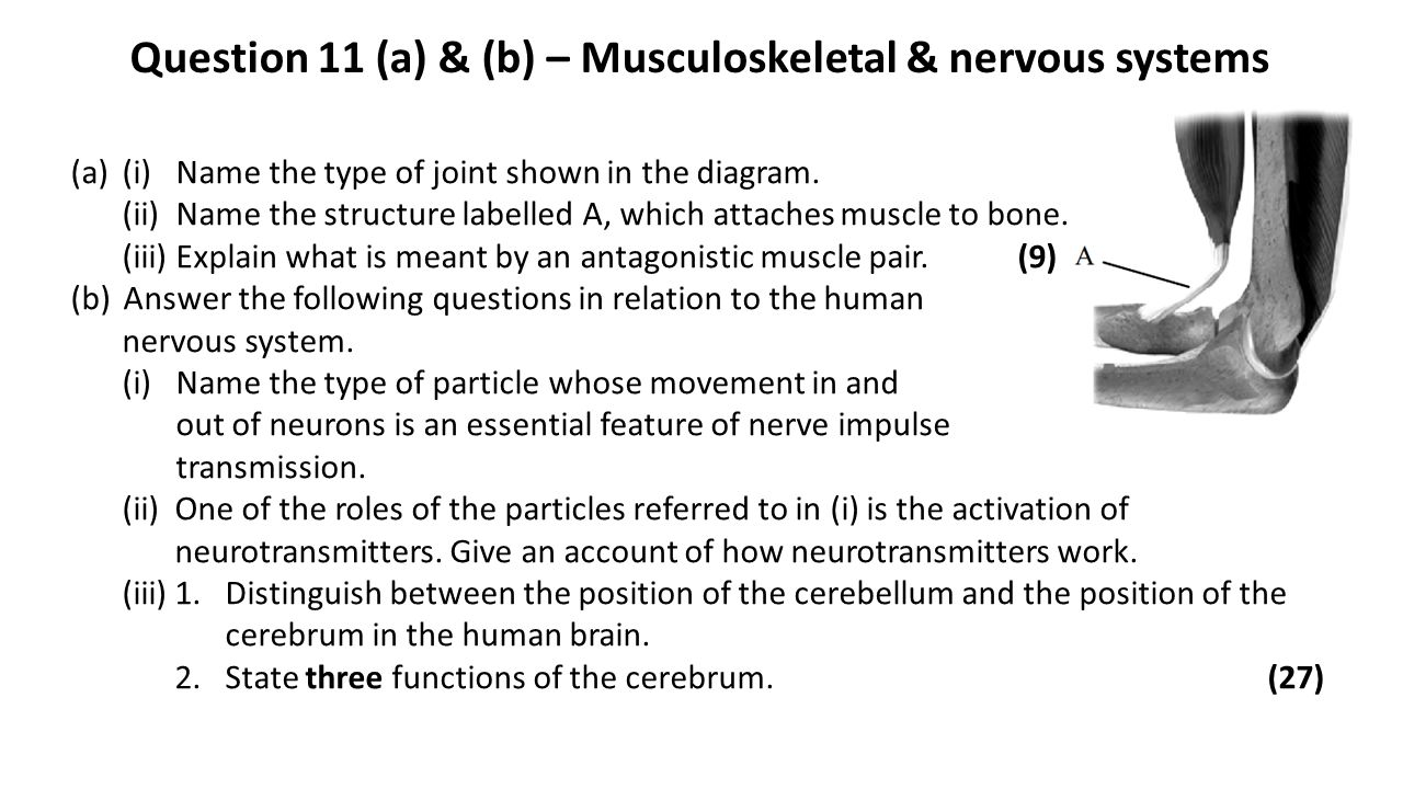 Question 11 (a) & (b) – Musculoskeletal & nervous systems (a)(i)Name the type of joint shown in the diagram. (ii)Name the structure labelled A, which
