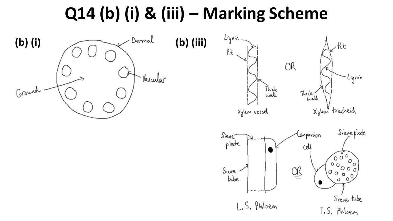 Q14 (b) (i) & (iii) – Marking Scheme (b) (i)(b) (iii)