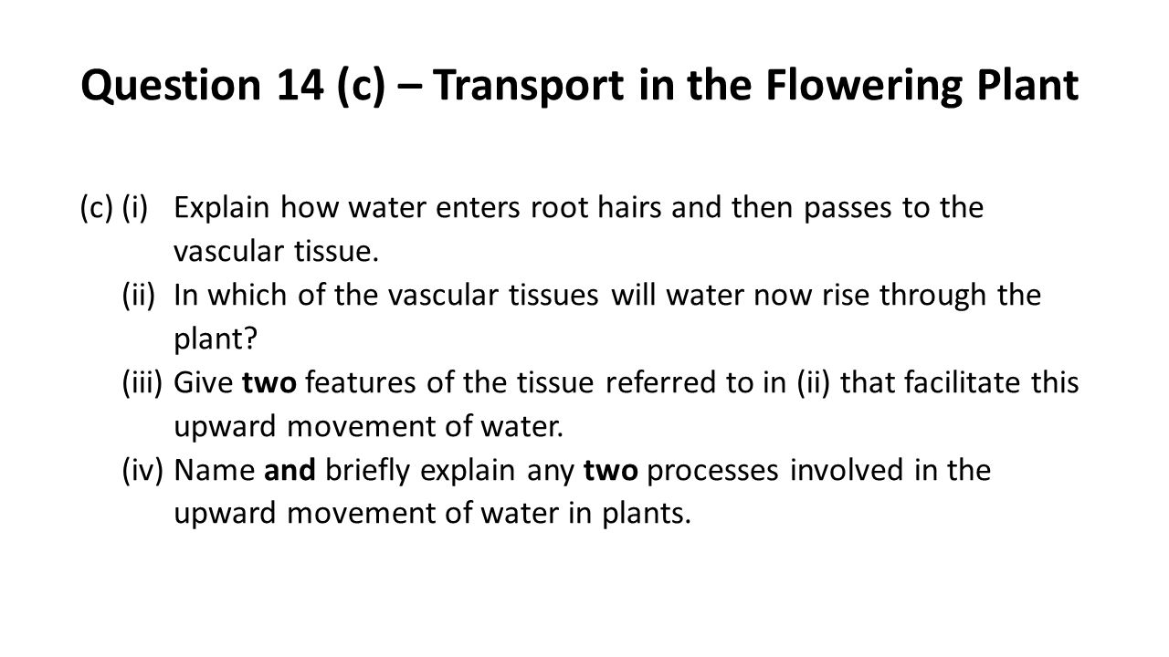 Question 14 (c) – Transport in the Flowering Plant (c)(i)Explain how water enters root hairs and then passes to the vascular tissue. (ii)In which of t