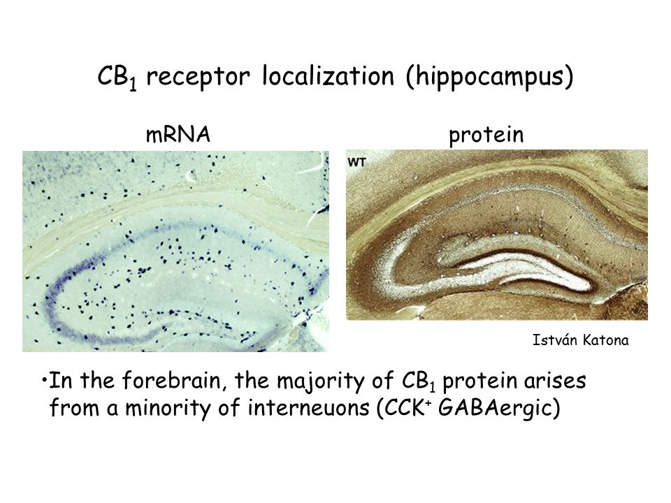CB 1 receptor localization (hippocampus) mRNAprotein István Katona In the forebrain, the majority of CB 1 protein arises from a minority of interneuons (CCK + GABAergic)