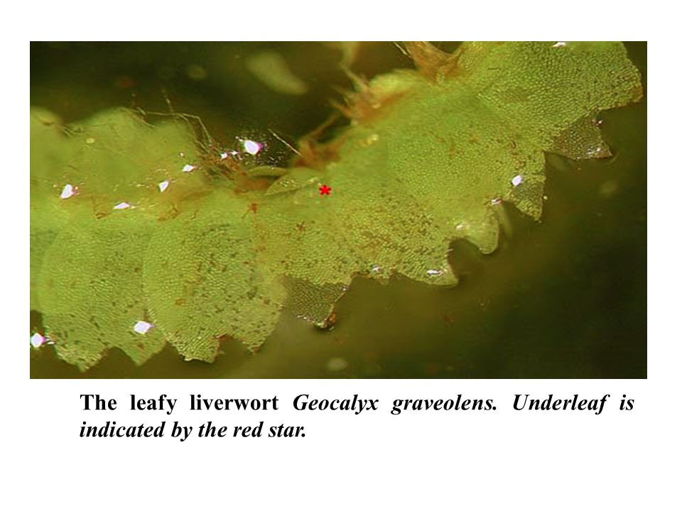 The leafy liverwort Geocalyx graveolens. Underleaf is indicated by the red star.
