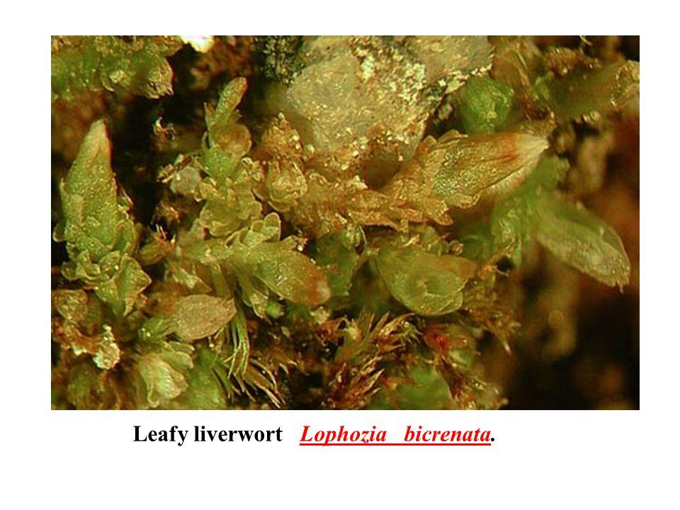 Leafy liverwort Lophozia bicrenata.