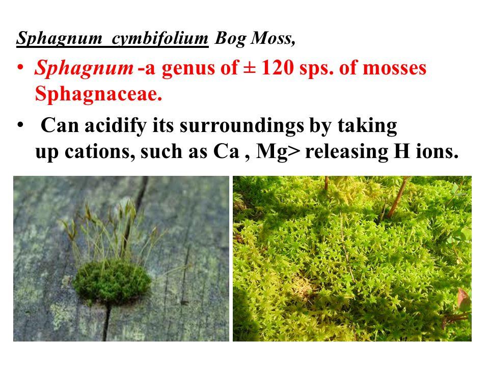 Sphagnum cymbifolium Bog Moss, Sphagnum -a genus of ± 120 sps.