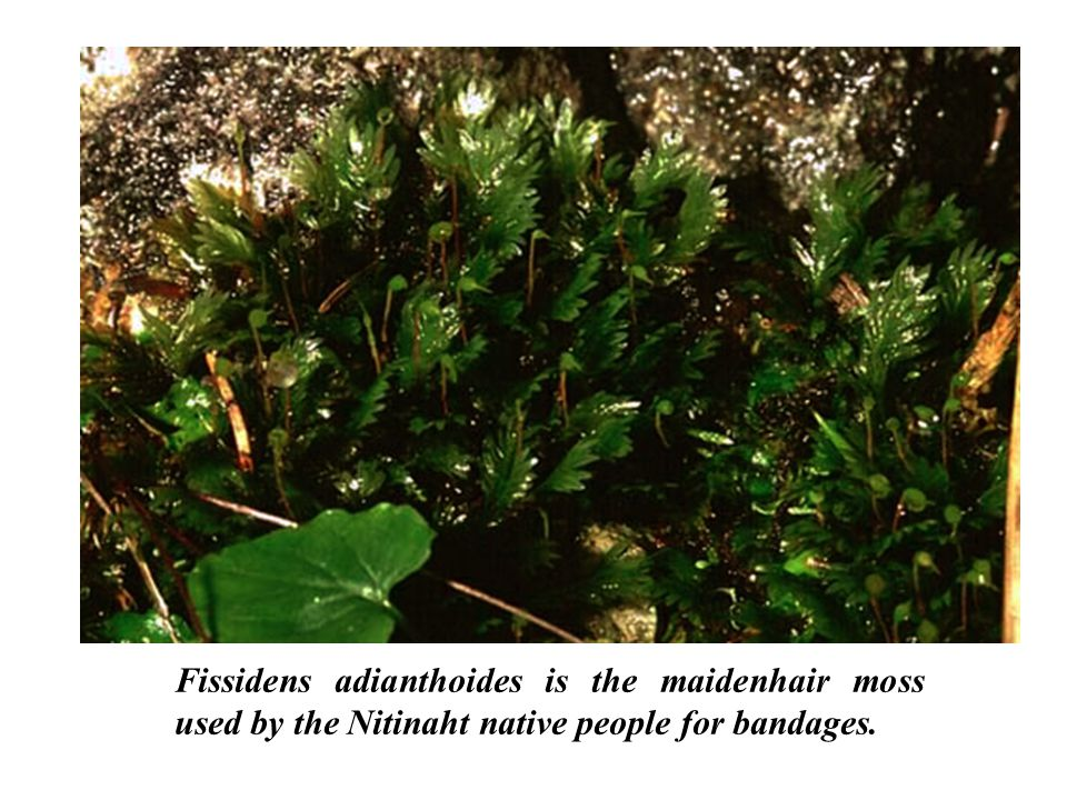 Fissidens adianthoides is the maidenhair moss used by the Nitinaht native people for bandages.
