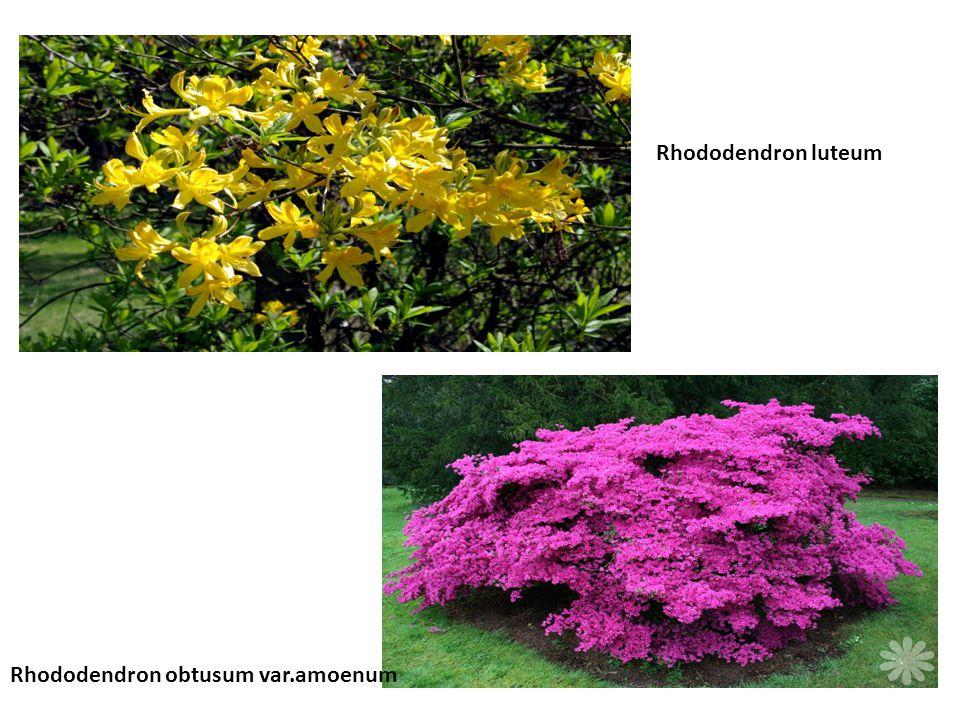 Rhododendron obtusum var.amoenum Rhododendron luteum