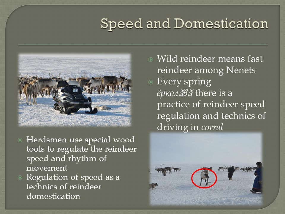  Wild reindeer means fast reindeer among Nenets  Every spring ёркол ӑ в ӑ there is a practice of reindeer speed regulation and technics of driving in corral  Herdsmen use special wood tools to regulate the reindeer speed and rhythm of movement  Regulation of speed as a technics of reindeer domestication