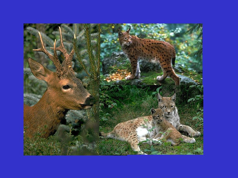 428 133 37 13 1 Prey species Number of kills found % of prey items Roe deer Chamois Red fox Brown hare Marmot Pine marten Badger Domestic cat Wild cat Capercaillie 69.3 21.5 6.0 2.0 0.2 Prey spectrum of lynx in the Swiss Jura (from Jobin et al., 2000)