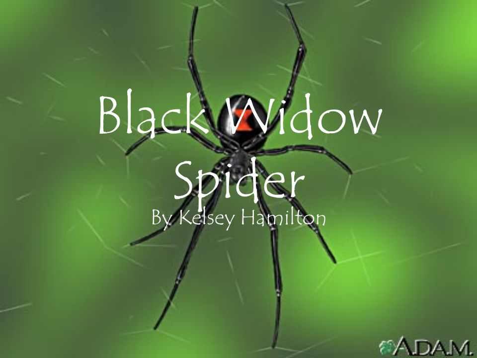 Black Widow Spider By Kelsey Hamilton