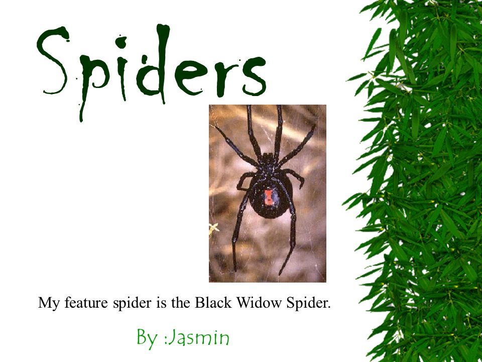 By :Jasmin Spiders My feature spider is the Black Widow Spider.