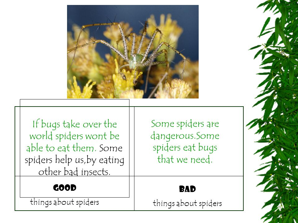 If bugs take over the world spiders wont be able to eat them. Some spiders help us,by eating other bad insects. bad things about spiders good things a