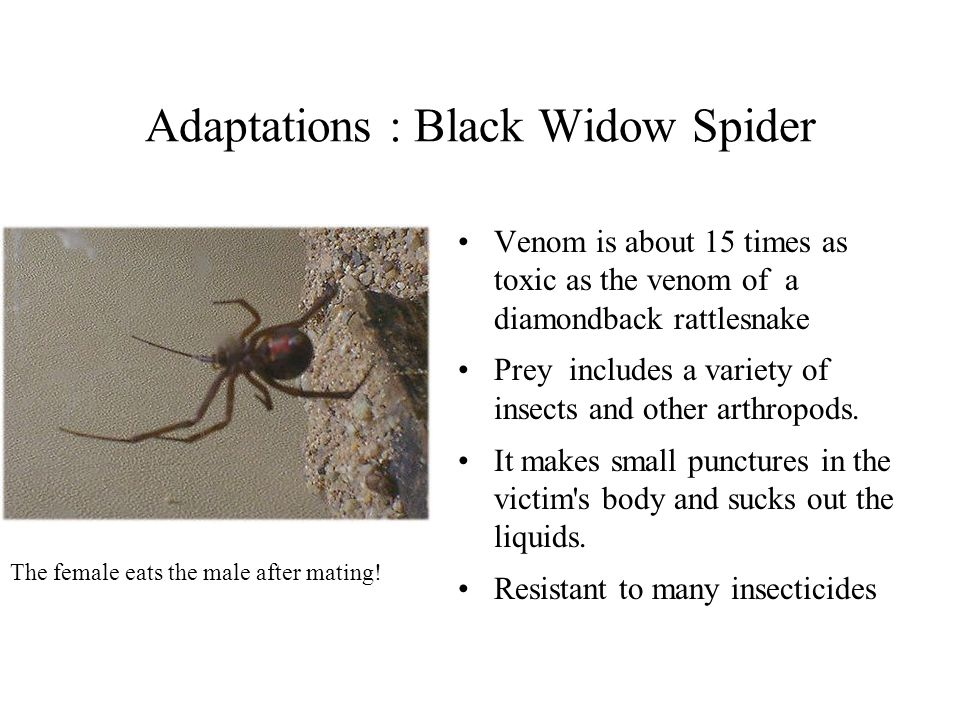 Adaptations : Black Widow Spider Venom is about 15 times as toxic as the venom of a diamondback rattlesnake Prey includes a variety of insects and oth