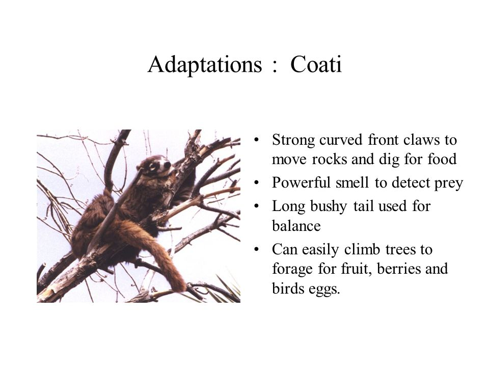 Adaptations : Coati Strong curved front claws to move rocks and dig for food Powerful smell to detect prey Long bushy tail used for balance Can easily