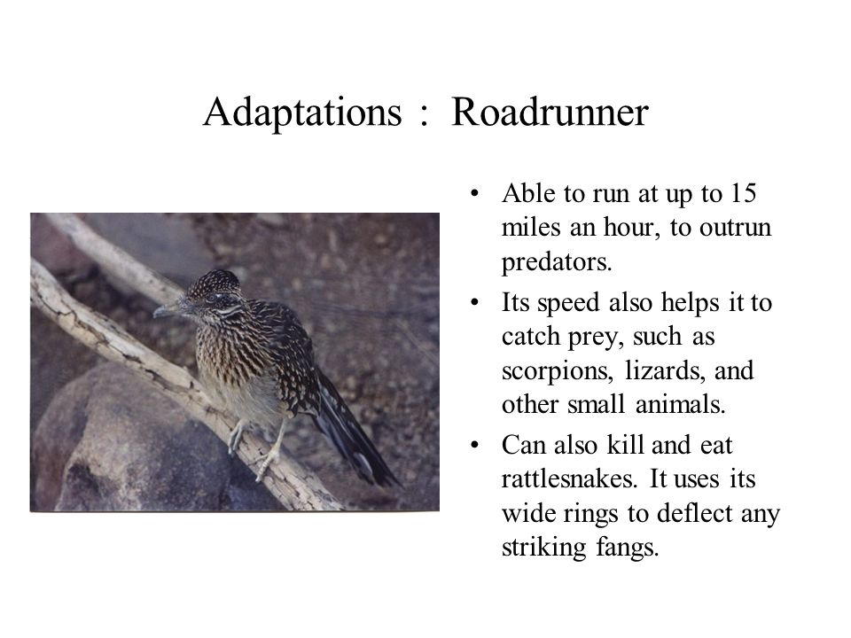 Adaptations : Roadrunner Able to run at up to 15 miles an hour, to outrun predators. Its speed also helps it to catch prey, such as scorpions, lizards
