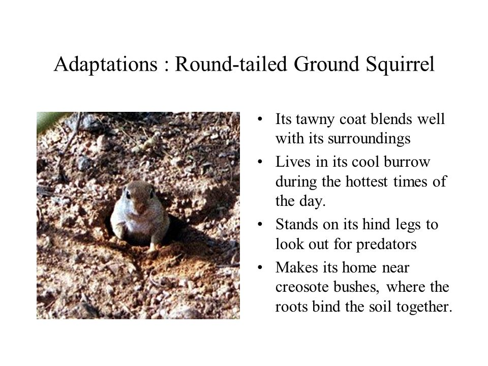 Adaptations : Round-tailed Ground Squirrel Its tawny coat blends well with its surroundings Lives in its cool burrow during the hottest times of the d