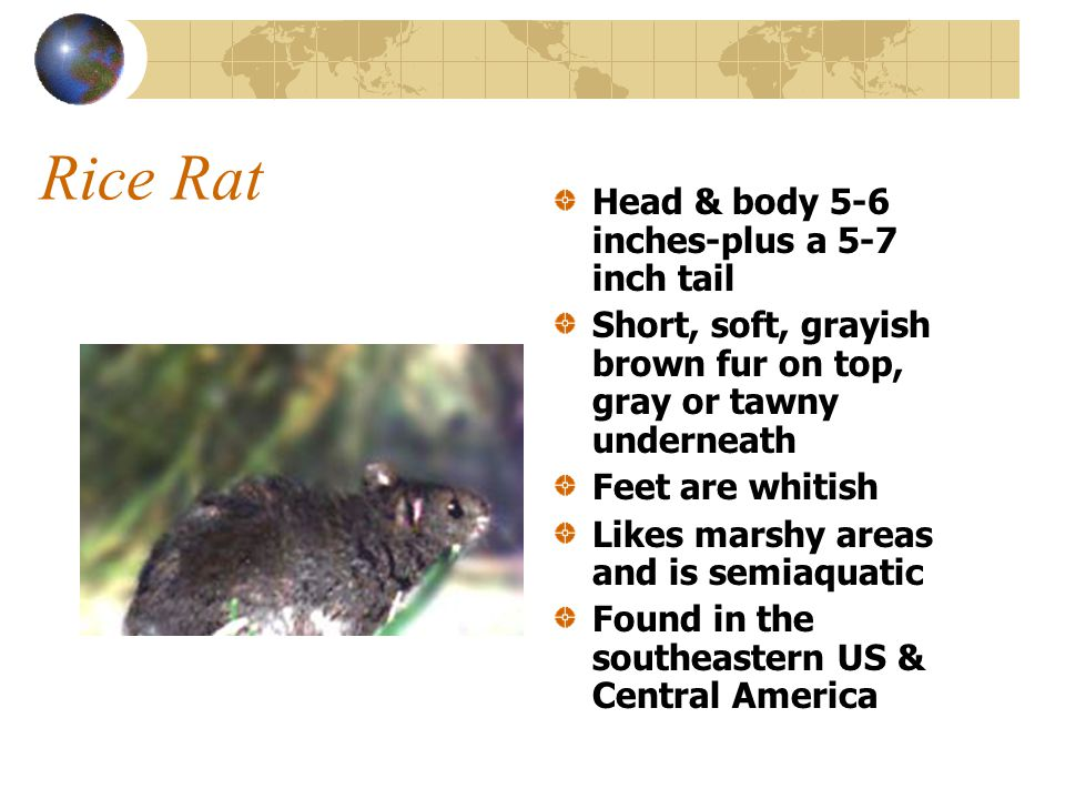 Rice Rat Head & body 5-6 inches-plus a 5-7 inch tail Short, soft, grayish brown fur on top, gray or tawny underneath Feet are whitish Likes marshy areas and is semiaquatic Found in the southeastern US & Central America