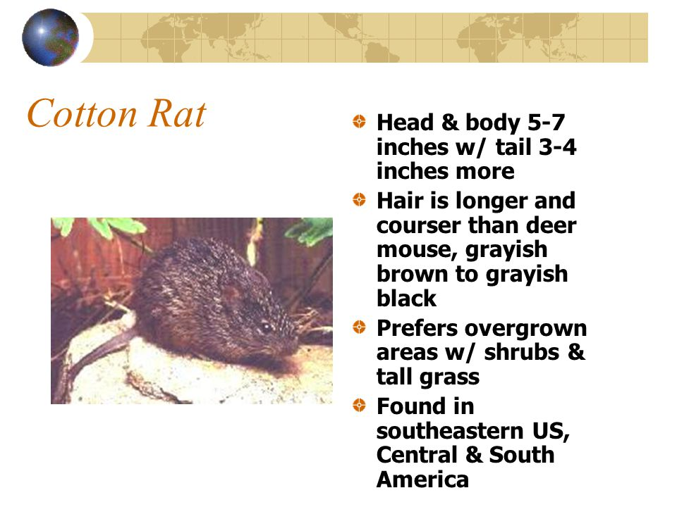 Cotton Rat Head & body 5-7 inches w/ tail 3-4 inches more Hair is longer and courser than deer mouse, grayish brown to grayish black Prefers overgrown areas w/ shrubs & tall grass Found in southeastern US, Central & South America