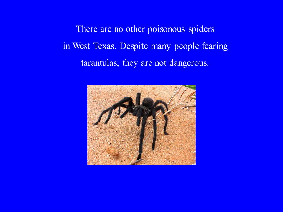 There are no other poisonous spiders in West Texas.