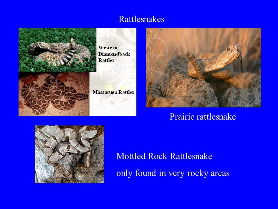 Rattlesnakes Prairie rattlesnake Mottled Rock Rattlesnake only found in very rocky areas