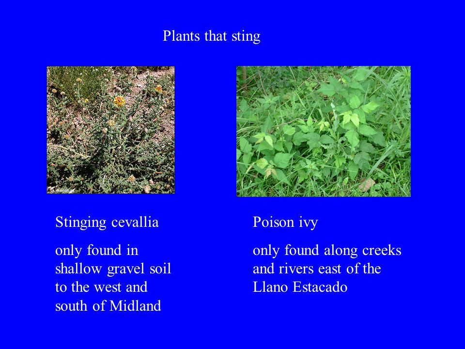 Plants that sting Stinging cevallia only found in shallow gravel soil to the west and south of Midland Poison ivy only found along creeks and rivers east of the Llano Estacado