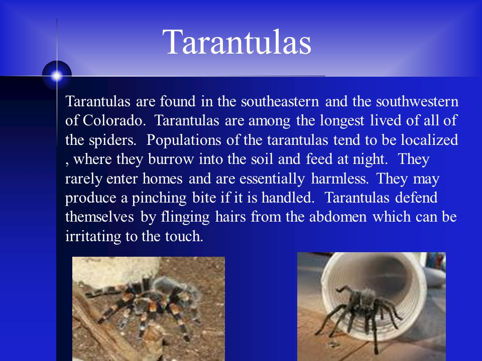 Tarantulas Tarantulas are found in the southeastern and the southwestern of Colorado. Tarantulas are among the longest lived of all of the spiders. Po